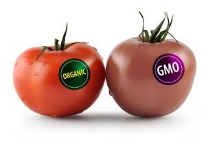 GMO_Tomato-300x207
